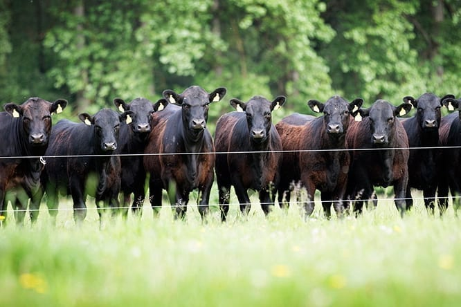 SALES ANGUS CATTLE