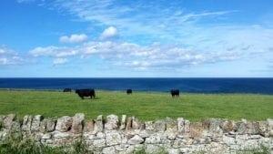 Pășunea de pe faleza mării Nordului.