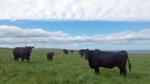 Bovine care pasc pe faleza mării Nordului.