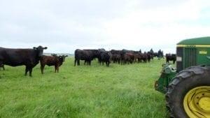 Bovinele la pășunat.